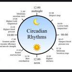 Circadian Rhythm 24 Hour Chart