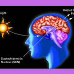 The Two Hormones That Control The Circadian Rhythm